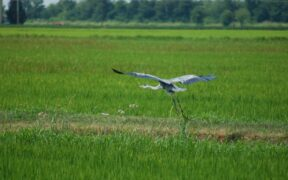 Sommelier del riso